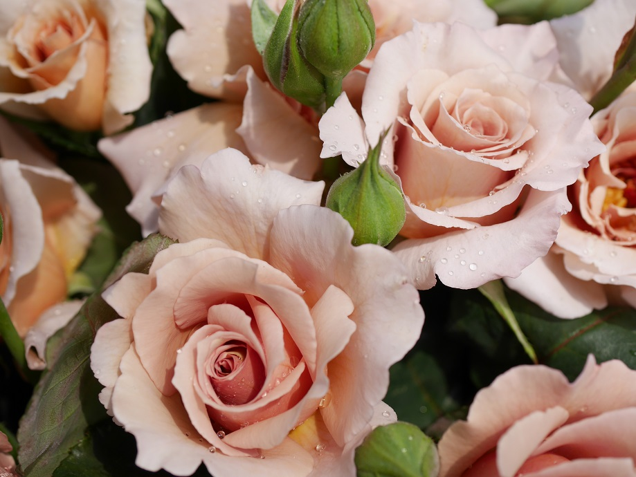 バラ「ジュリア」の切り花が無数に集められた写真