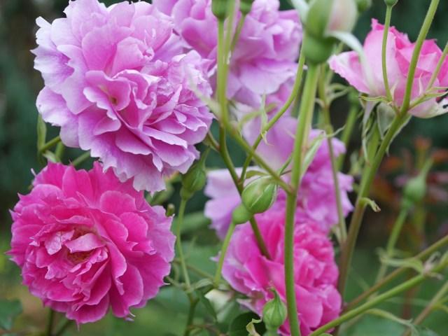 ロサオリエンティスのシュラブ「シェラザード」の花姿。[撮影者:ローズフェスタ]