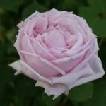 ハイブリッド・ティーってなに?|新時代を開いた現代バラ誕生の物語
