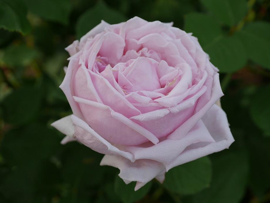 バラ「ラ・フランス」の開花した花姿。