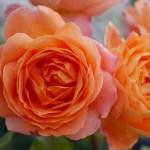 フルーツの香りと耐病性のバラ[レディエマハミルトン]の栽培実感