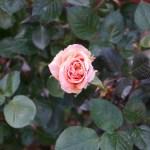 修養場を灯すオレンジのバラ[アシュラム]の栽培実感