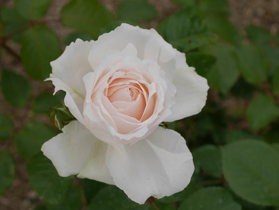 クリーミーホワイトの丸弁抱え咲きのバラ「プリンセス・オブ・ウェールズ」の花姿。