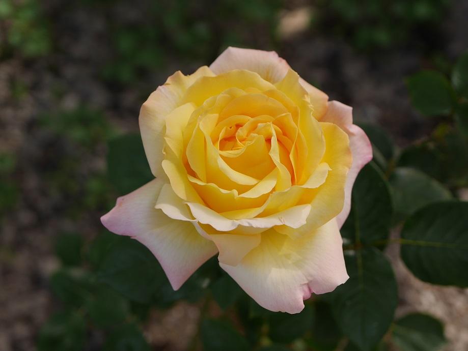 交錯する愛憎の花言葉 黄色いバラの紹介 100種類以上から選んだお勧め品種 ローズフェスタ 五感で楽しむ薔薇の広場