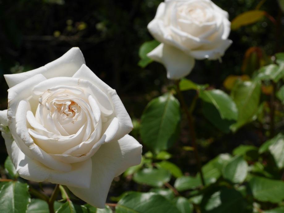 2輪咲いている純白の剣弁抱え咲きの「ビブ・ラ・マリエ!」の花姿。花びらの縁に少し痛みがあるのがわかる写真。
