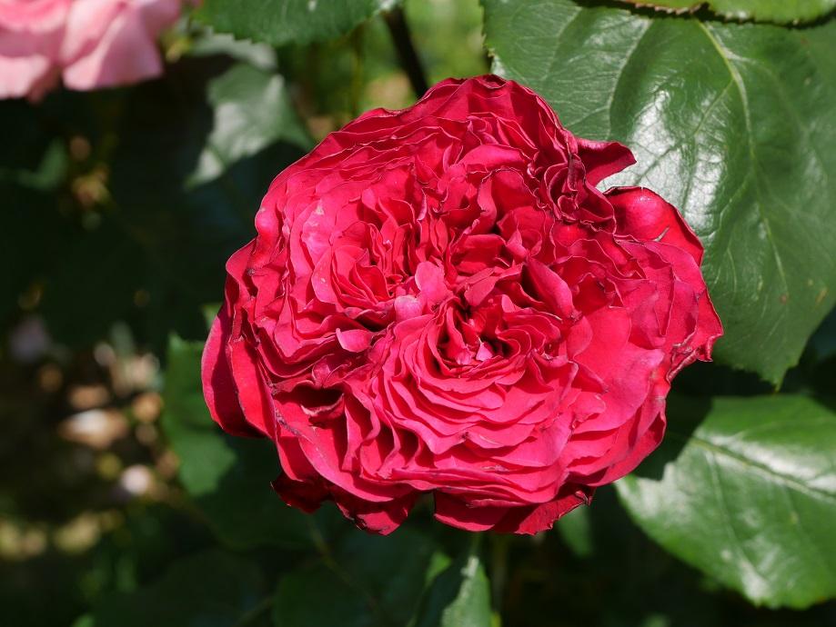 濃い赤色のバラ「ルージュ・ロワイヤル」の花姿。