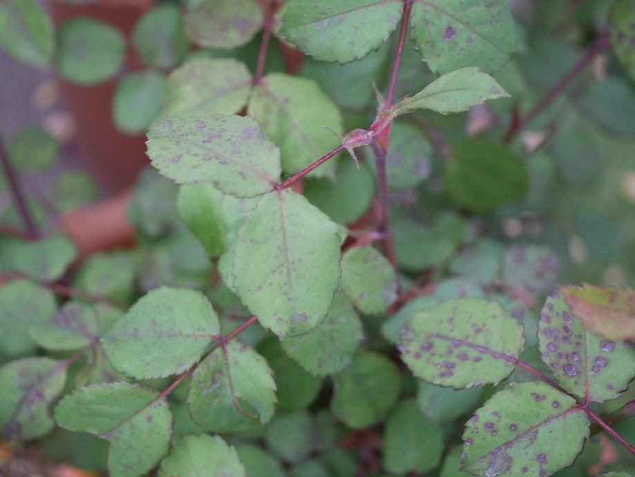 農薬を一切使用せずに育てた「レディ・エマ・ハミルトン」の古い葉の様子。