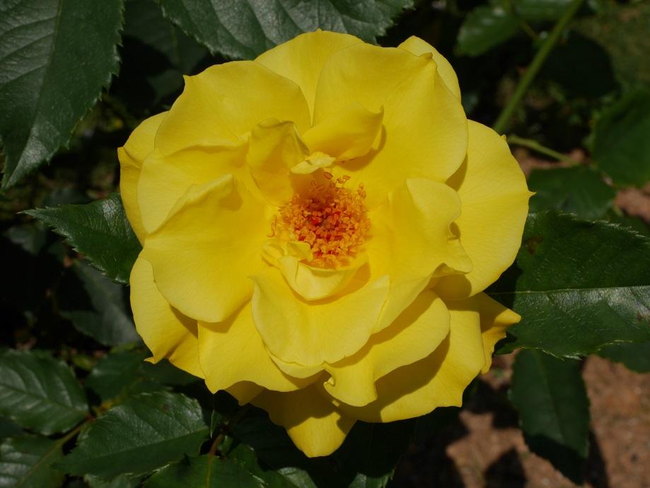 濃い黄色のバラ「フリージア」の花姿。