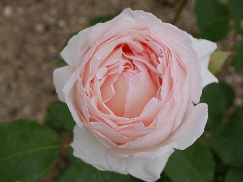 アプリコットとベージュの下地に中心部がクリームピンク色になるカップ咲きのバラ「薫野」の花姿。