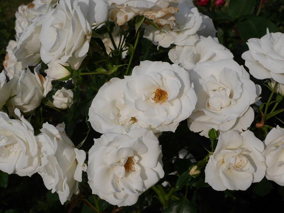 咲きほこるややアイボリーが入る白いバラ「ホワイト・アロー」の花姿。