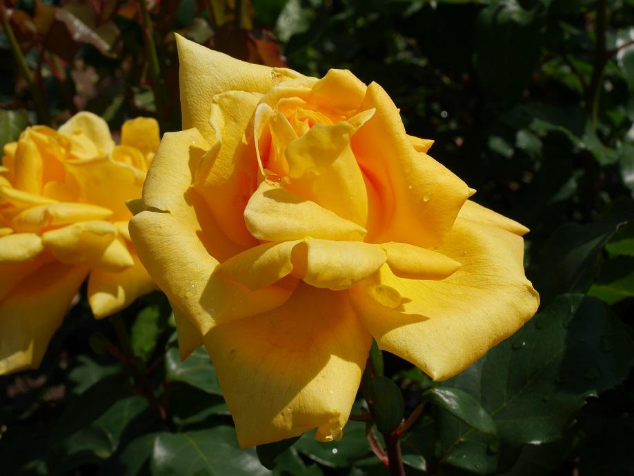 黄色の半剣弁高芯咲きの「マルコ・ポーロ」の花姿。