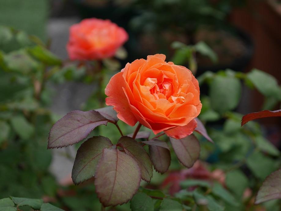 特徴の胴色の葉と一緒にうつった「レディ・エマ・ハミルトン」の花姿。[撮影者:ローズフェスタ]