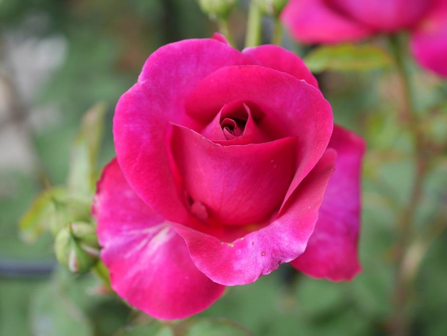 バラ「ムンステッド・ウッド」のつぼみが開いた咲きはじめ頃。