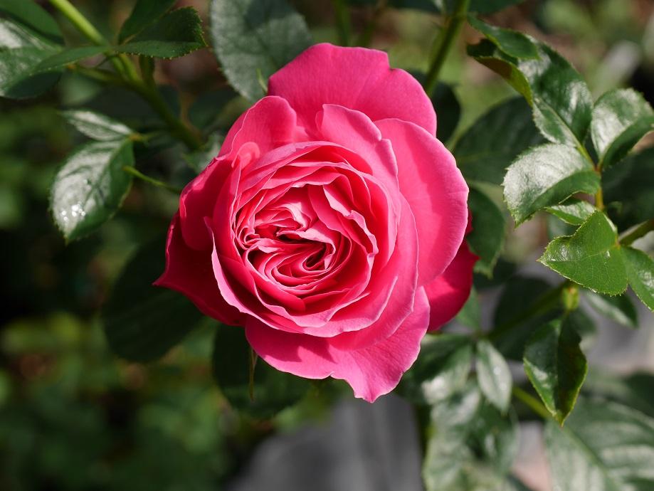 ローズピンクの丸弁咲きのバラ「ジェンマ」の花姿。