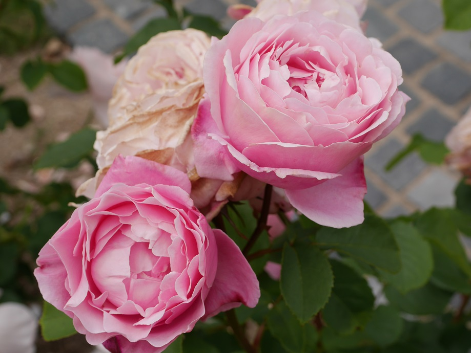 薄い紫が混じるピンクのカップ咲きのバラ「シャンテ・ロゼ・ミサト」の花姿。2輪が開花している。