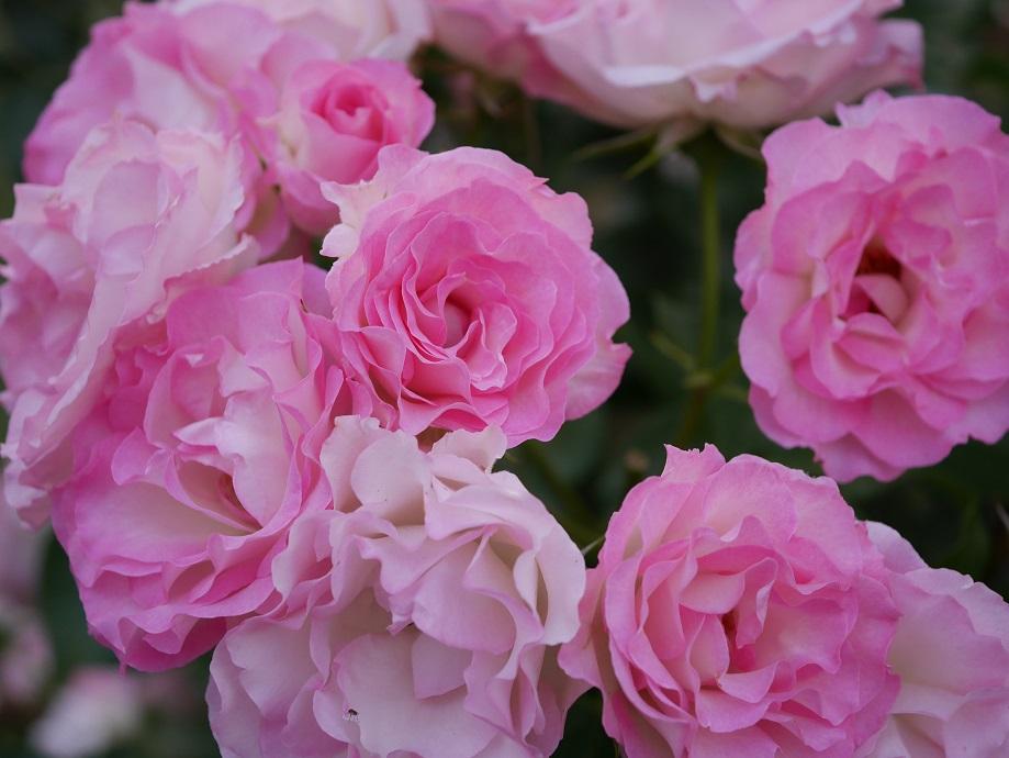 白地にピンクの覆輪のバラ「ストロベリー・アイス」が画面いっぱいに咲きほこる写真。[撮影者:花田昇崇]
