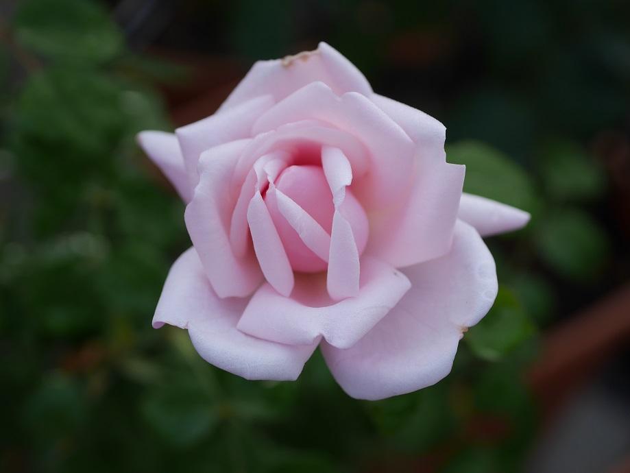 シルバーピンク色の半八重咲き&カップ咲きのバラ「ニュー・ドーン」の花姿。