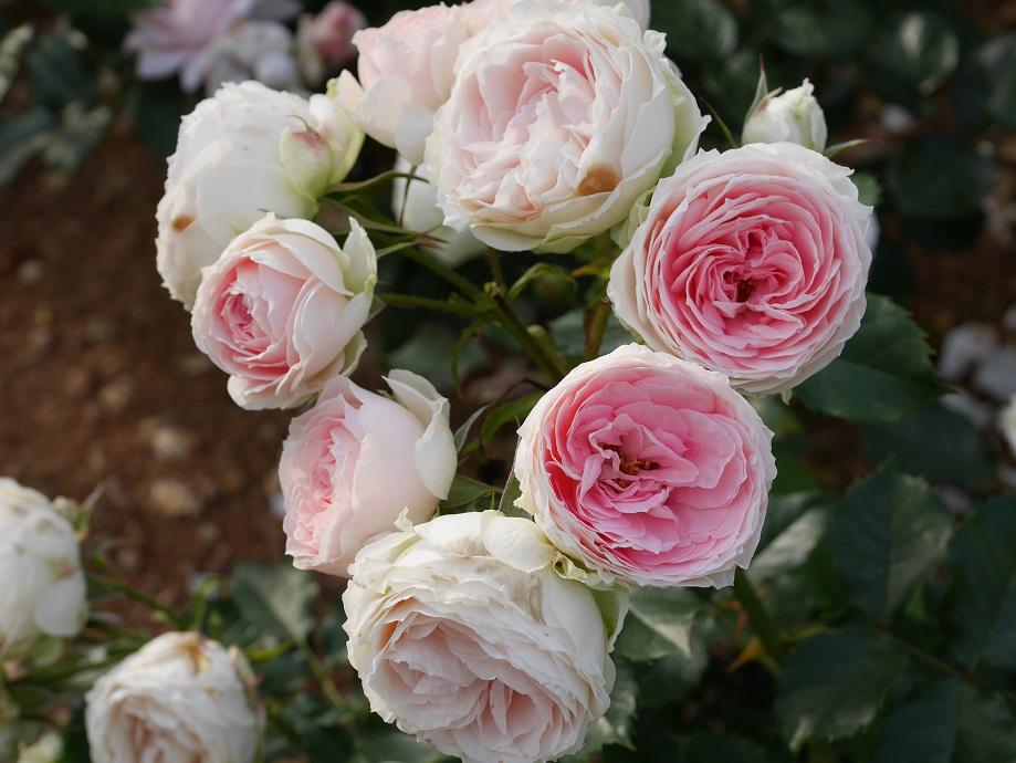 薄いグリーンが混じったようなホワイトの下地に、中心部分が濃いピンクになるカップ咲きのバラ「パシュミナ」の花姿。画面に7輪写っている。[撮影者:ローズフェスタ]
