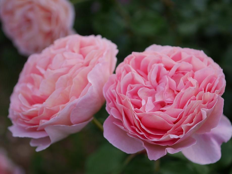 アプリコットが混じるピンク色のロゼット咲きのバラ「アブラハム・ダービー」の花姿。[撮影者:花田昇崇]