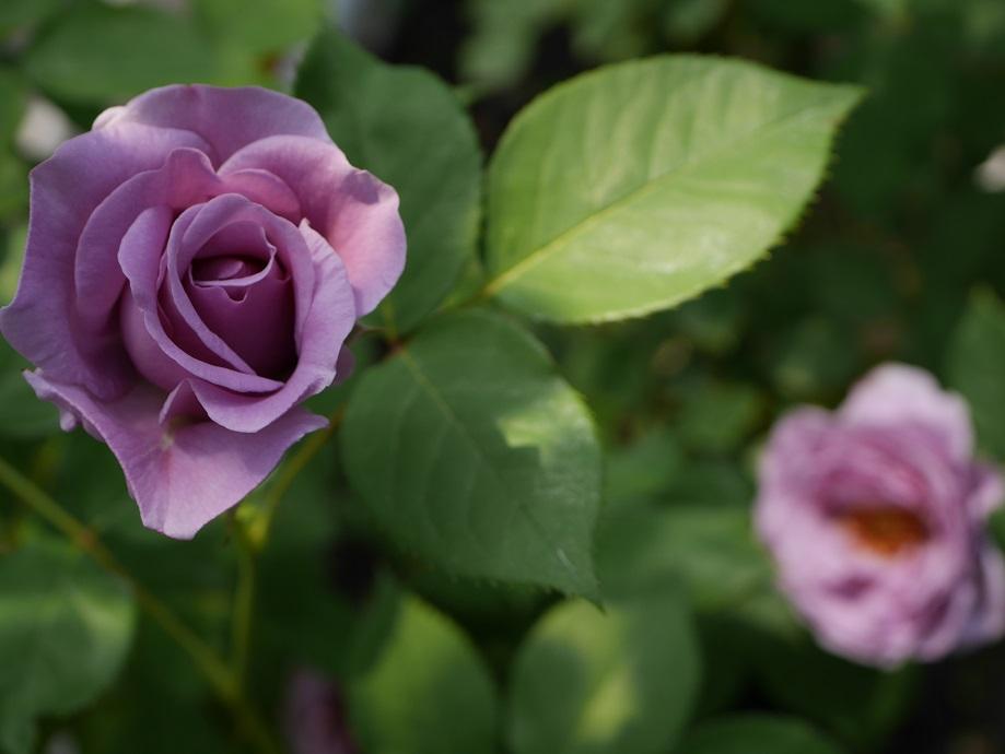青みの強い藤色のバラ「しのぶれど」の花姿。