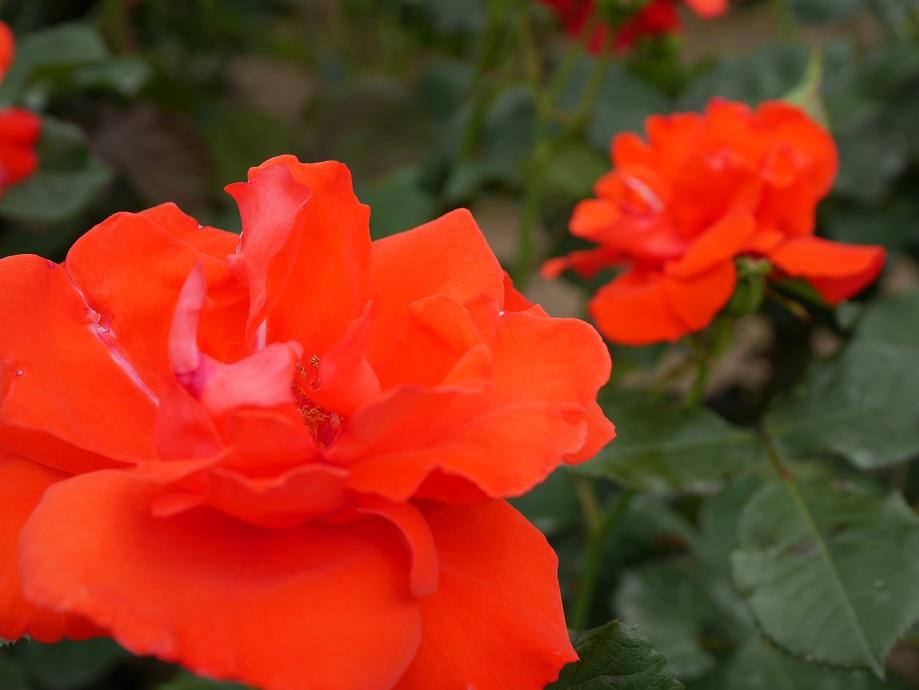 朱色が混じる明るいオレンジのバラ「アナシュカ」の花姿。