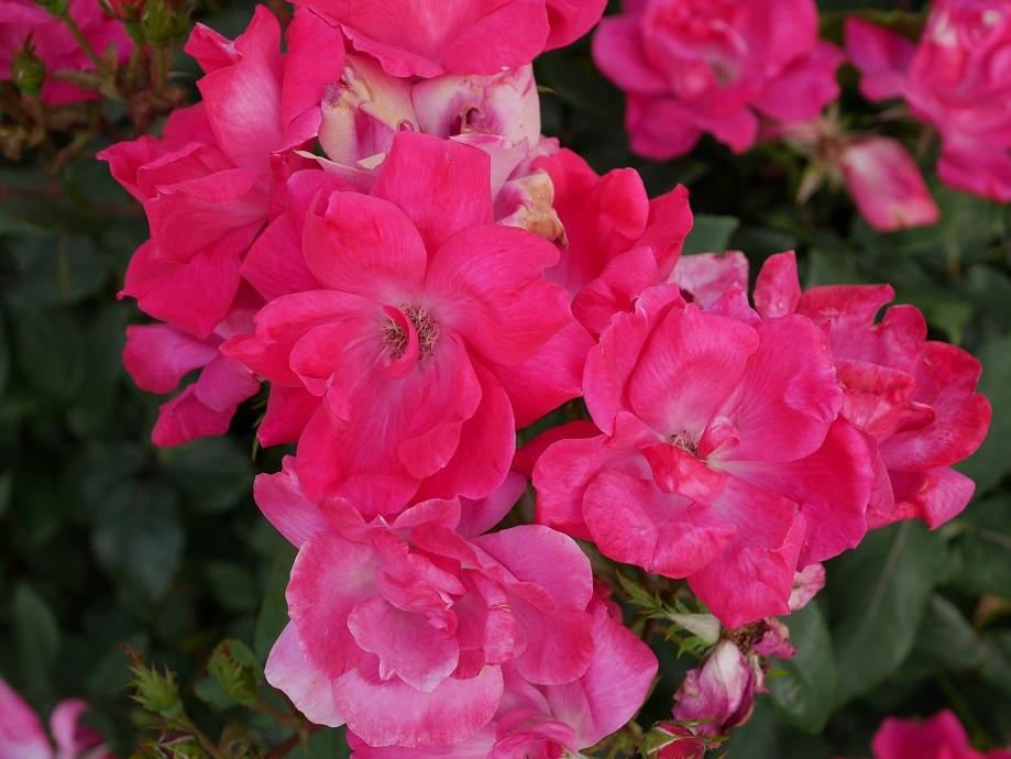 柔らかな桃色から薄いピンク色へと変わるバラ「ザ・フェアリー」の花姿。