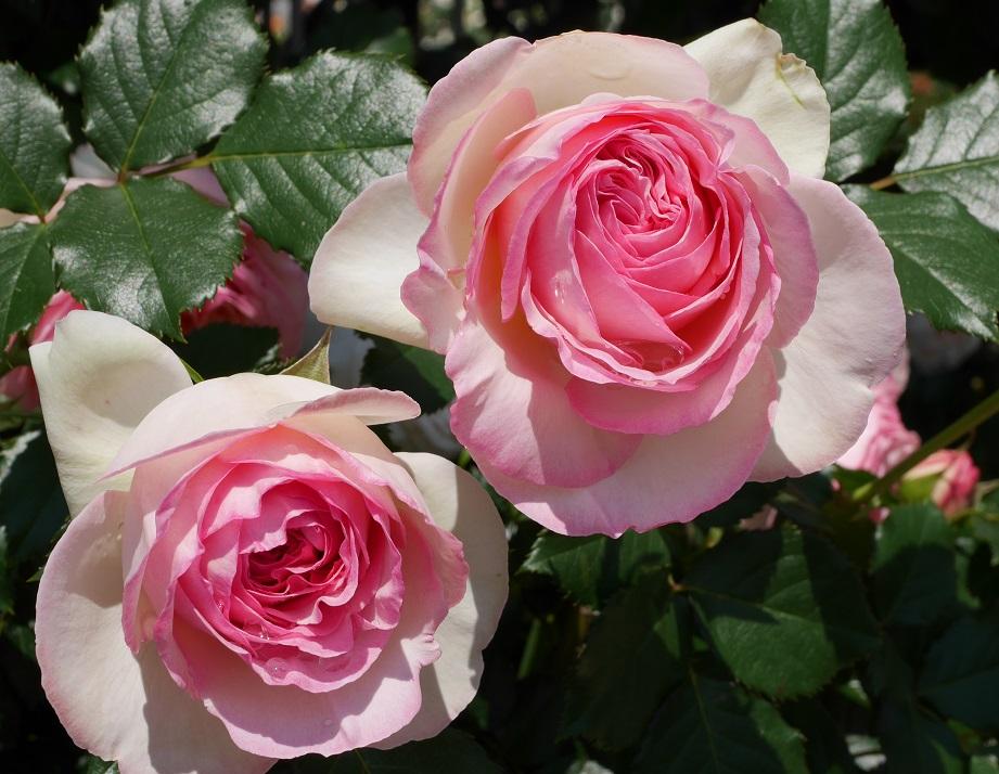 ホワイトの下地の中心部分がピンク色になるカップ咲きのバラ「ピエール・ドゥ・ロンサール」の花姿。