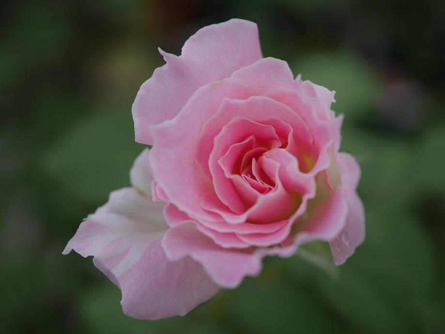 淡いピンクの覆輪の丸弁平咲きのバラ「マチルダ」の花姿。
