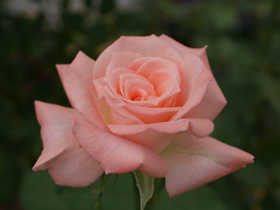 白みが混じる強いピンクの半剣弁高芯咲きのバラ「マドーナ」の花姿。