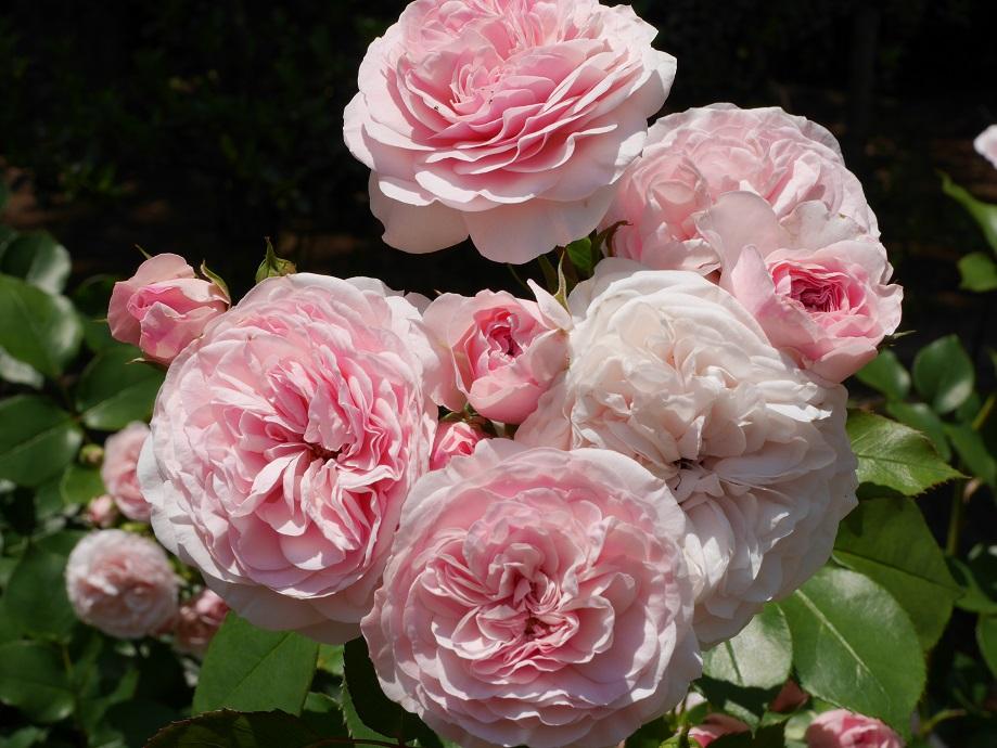 周辺よりも中心部の色味が濃くなるピンクのクォーターロゼット咲きのバラ「マリア・テレジア」の花姿。[撮影者:ローズフェスタ]