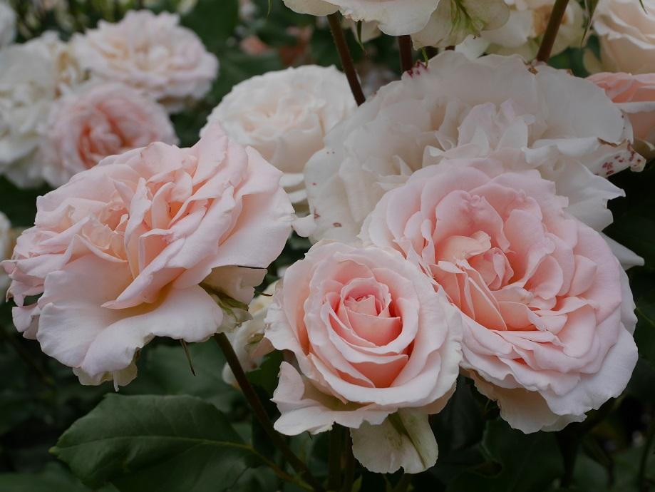 アイボリーが混じる薄いピンクの丸弁高芯咲きのバラ「ヨハン・シュトラウス」の花姿。画面いっぱいに5輪以上咲いている。[撮影者:花田昇崇]
