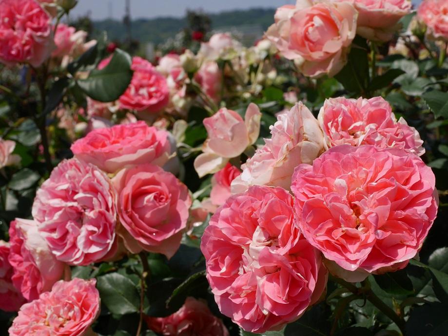 コーラルピンク色の一部にホワイトが混じる波状弁咲きのバラ「るる」の花姿。[撮影者:ローズフェスタ]