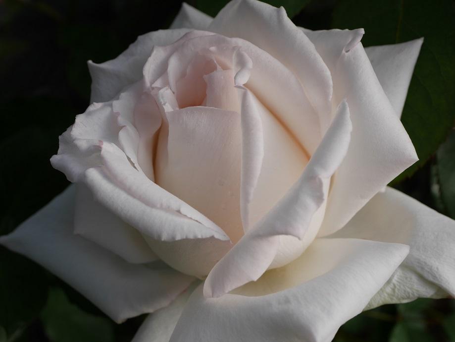 花芯にうっすらとピンクが見える半剣弁高芯咲きバラ「エレーヌ・ジュグラリス」の花姿。