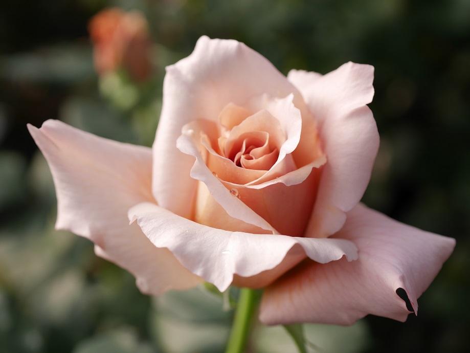 バラ「ジュリア」の美しさがよくわかる美麗な写真[撮影:花田昇崇]