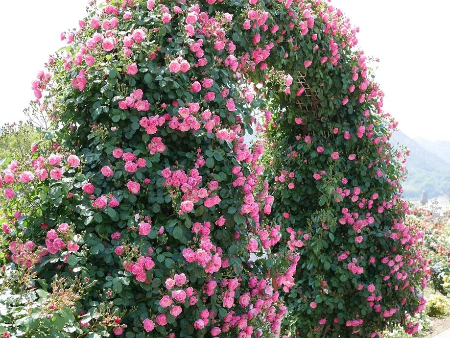 ローズピンクのカップ咲きのバラ「アンジェラ」が咲きみだれるアーチを撮影した。