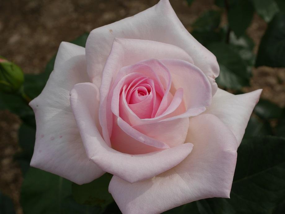 白が混じった薄い桃色の剣弁高芯咲きのバラ「ロイヤル・ハイネス」の花姿。