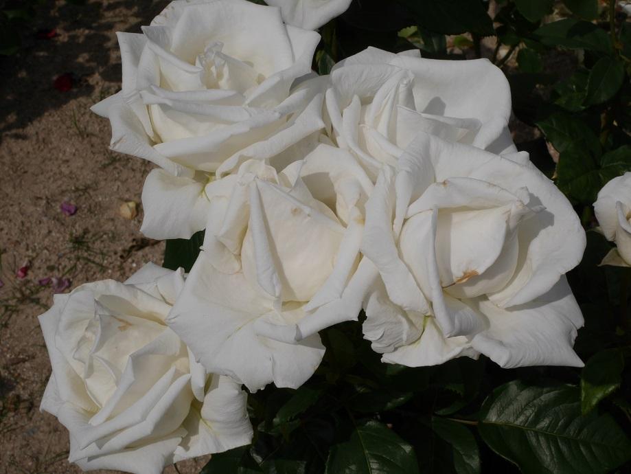 4輪咲いている剣弁高芯咲きのバラ「オスカル・フランソワ」の花姿。