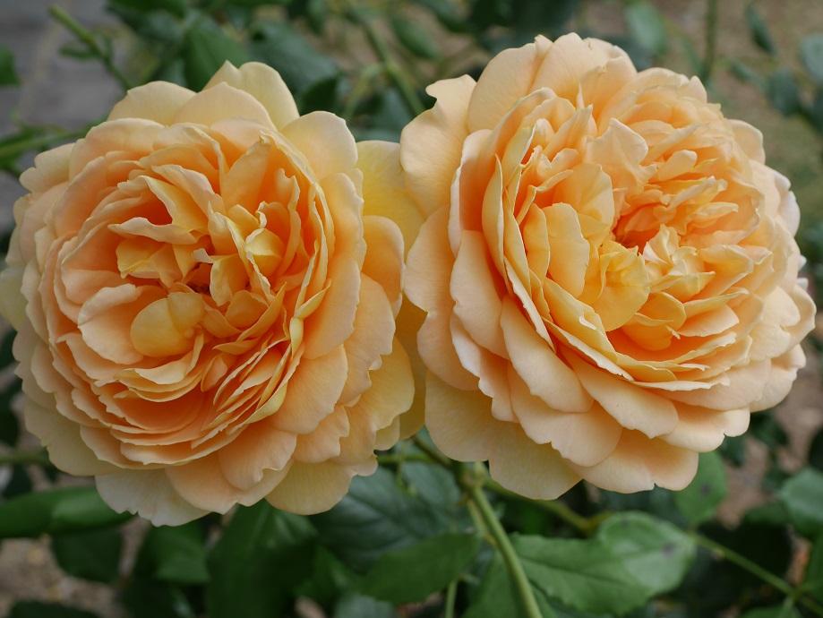 大輪に開花する山吹色のカップ咲きのバラ「ゴールデン・セレブレーション」の花姿が2輪。[撮影者:花田昇崇]