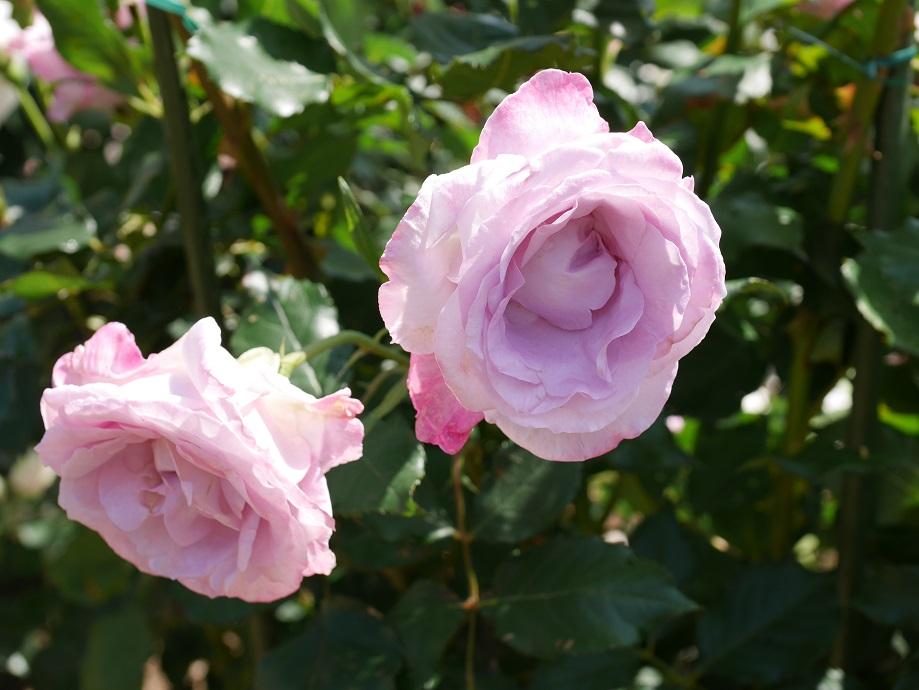 ラベンダー色の丸弁高芯咲きのバラ「ライラック・ビューティー」の花姿。