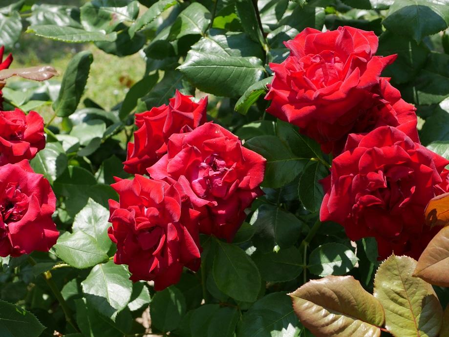 咲きほこる古典的な黒バラ「ニグレット」の花姿。[撮影者:ローズフェスタ]