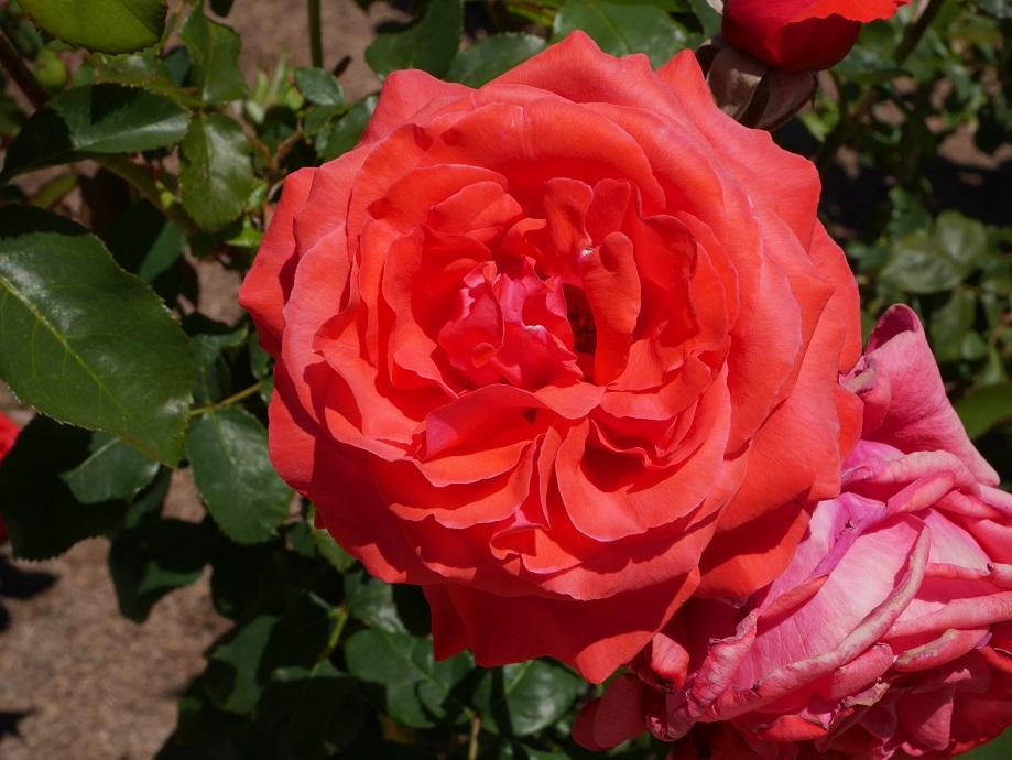 世界ばら会連合の第3回栄誉の殿堂入り品種のバラ「ドゥフトボルケ」(ハイブリッド・ティー)の美しい花姿。