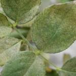 ハダニ|バラの害虫|葉の表面のかすり状紋様に要注意!それが寄生の印