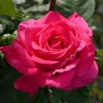 絢爛豪華なベルサイユのばら[王妃アントワネット]の栽培実感