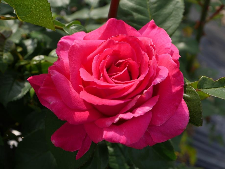 濃いローズピンクの波状弁抱え咲きのバラ「王妃アントワネット」の美しい花姿。美麗な写真。[撮影者:花田昇崇]