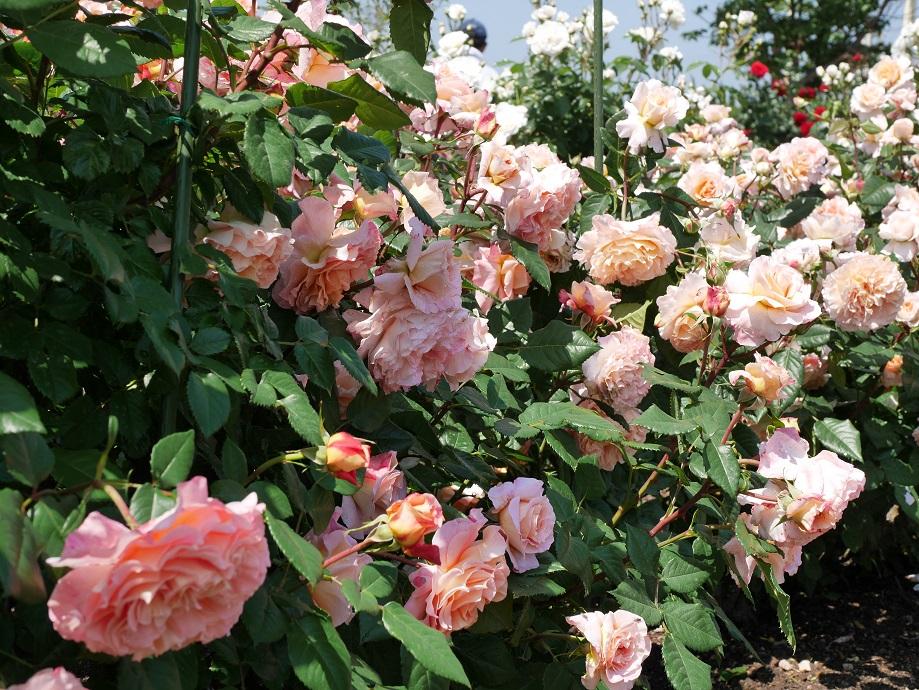 アプリコット~ピーチの色味のバラ「アウグスタ・ルイーゼ」が咲きほこる様子。