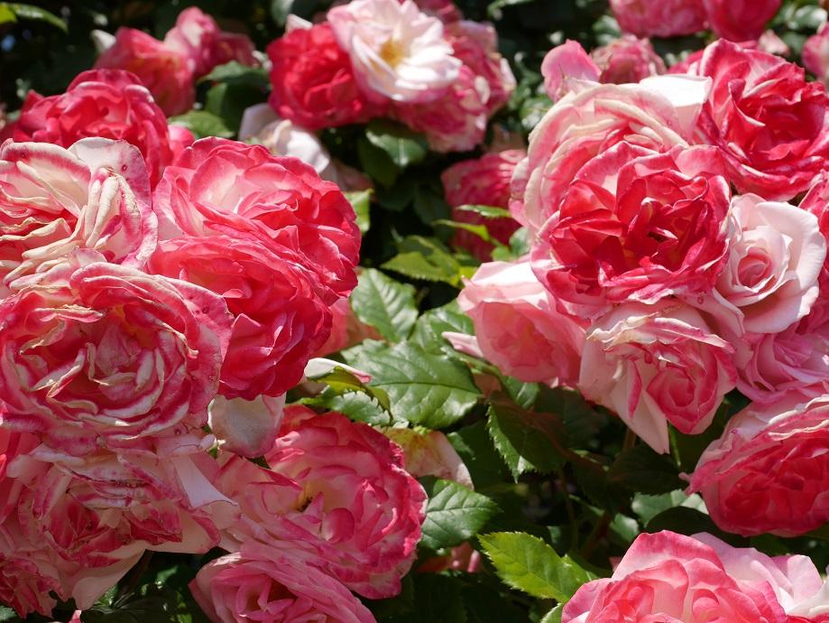 画面いっぱいに咲くクライミング・ローズ「つる桜霞」の花姿。