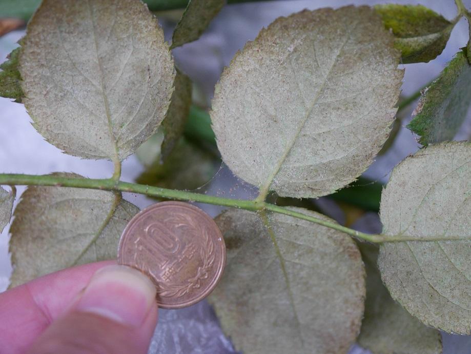バラの葉と10円玉を並べて写した写真。ハダニの小ささがよくわかる写真。