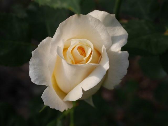白系の大輪バラ「ホワイト・クリスマス」の8分咲きの美しい花姿