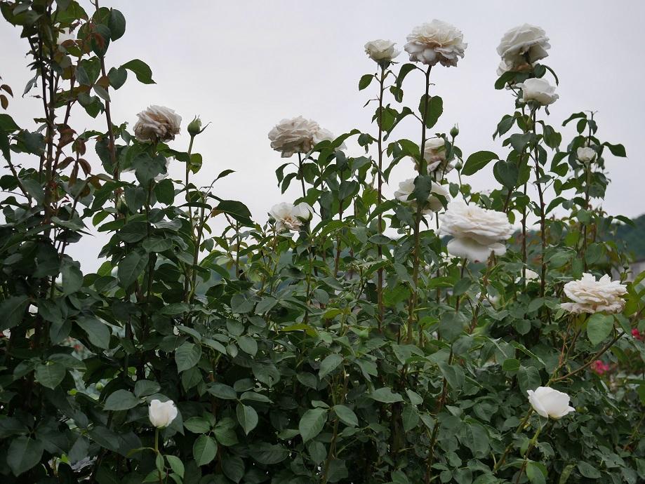 ローズフェスタ1番ファームで撮影した「ビブ・ラ・マリエ!」。とても高い背丈で咲いていることがわかる写真。