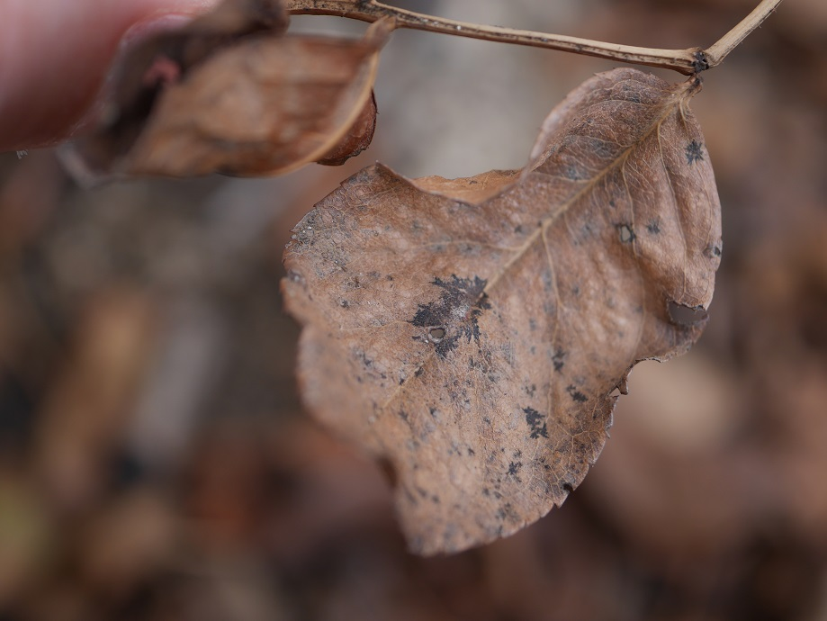 黒星病によって落葉した葉に生じている黒斑を拡大して写した写真。